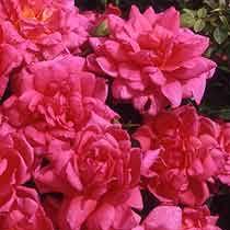 Rosa 'The Sobell Rose'