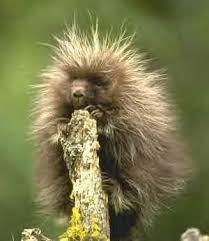 external image porcupine.jpg