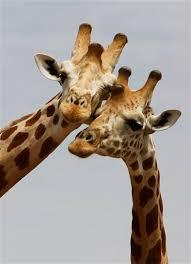 external image a_pair_of_giraffes_from_africa_s_most_endangered_g_6078643944.jpg