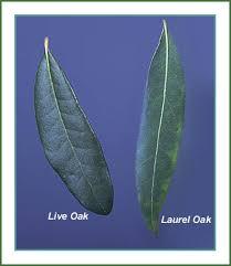 Live vs. Laurel oak