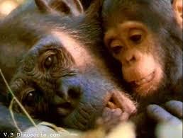 http://t1.gstatic.com/images?q=tbn:hopJOqlZ8B6X9M:http://www.dinosoria.com/mammifere/chimpanze-d-16.jpg