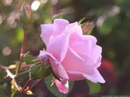 rose close up 420