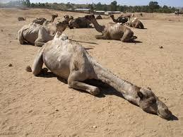 صور جمل من ملك روحي  04_Sleeping_camel