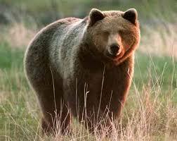 orso Sono 25 gli orsi in Trentino