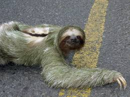 Did you know that sloths only