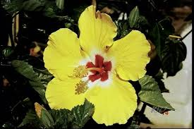yellow rose of sharon