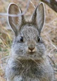 external image pygmy-rabbit-%2B1.jpg