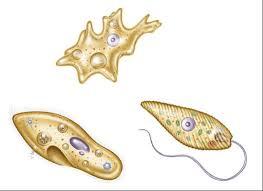 protistaların özellikleri