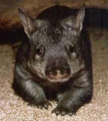 File:Wombat.jpg - Uncyclopedia