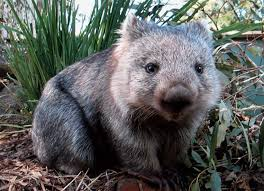 Wombat mauls bushfire survivor