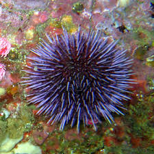 Sea urchins have spikes, and that is their defense against predators.