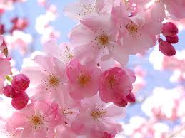 Cherry Blossom Pink Flowers 3