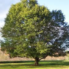 Georgia State Tree: Live Oak