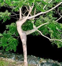 درخت در حال رقص - درخت عجیب