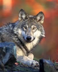Canis lupus laying Valle di Fiemme, a 150 anni dalla scomparsa, il lupo è tornato a frequentare i boschi del Trentino