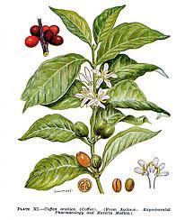 Coffea arabica /