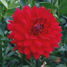Dahlia 'Taratahi Ruby'