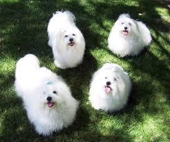 Tiny Non Shedding Dog Breeds by Beautiful Fancy Dog Breeds Dog Breeds Puppies Types Of Fancy Dog