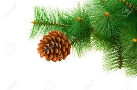 Pine Cone Christmas Trees For Sale by Pine Cone Stock Photos Royalty Free Pine Cone Images And Pictures