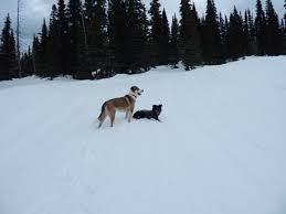 Blue Heeler Shedding In Winter by Survey Bomber Backcountry Dog Breeds Breeders Archive Teton