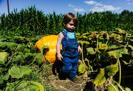 Cal Poly Pomona Annual Pumpkin Patch by Here U0027s Where To Pick Pumpkins At Patches From Redlands To Temecula