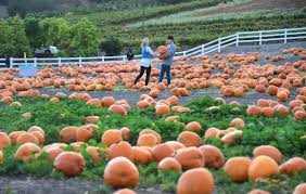 Cal Poly Pomona Annual Pumpkin Patch by Pumpkin Patches On The First Coast Firstcoastnews Com