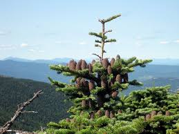 Balsam Christmas Tree Australia by Balsam Fir Info How And When To Plant Balsam Fir Trees