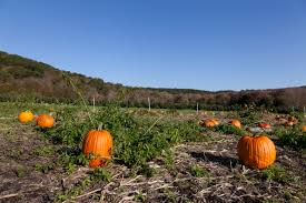 White Oak Pumpkin Patch by Pumpkin Picking In New England Ct Ma Nh Vt Ny Ri