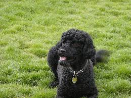 Tiny Non Shedding Dog Breeds by Dog Breeds That Don U0027t Shed Is There Such A Thing As A