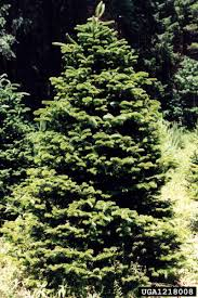 Christmas Tree Species Name by Cool Tree Facts