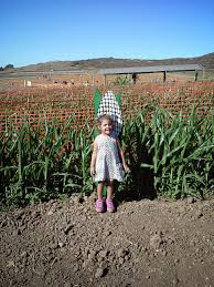 Cal Poly Pomona Annual Pumpkin Patch by Corn Maze Archives Project Refined Life