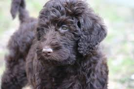 Tiny Non Shedding Dog Breeds by Most Popular Hypoallergenic Dog Breeds Canna Pet