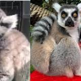 King Julien is that you? Lemur that disappeared from zoo found at church playground