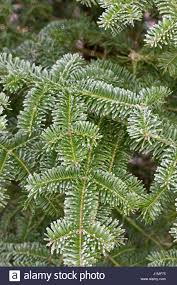 Balsam Christmas Tree Australia by Balsam Fir Stock Photos U0026 Balsam Fir Stock Images Alamy