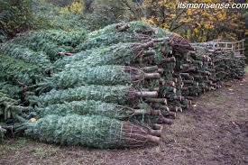 Christmas Tree Has Aphids by December Farming In Focus Christmas Trees It U0027s Momsense