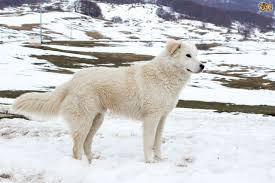 Blue Heeler Shedding In Winter by Maremma Sheepdog Dog Breed Information Buying Advice Photos And