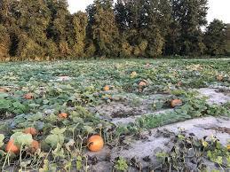 White Oak Pumpkin Patch by M U0026h Edwards Farm Corn Maze U0026 Pumpkin Patch Home