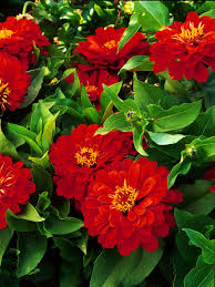 Flowers For Flower Beds by Top Red Annual Flowers For Your Garden Hgtv