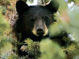 Colorado Springs Christmas Tree Permits by Colorado May Euthanize More Bears And Lions To Try To Boost