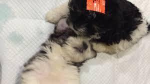 Tiny Non Shedding Dog Breeds by About Havanese Akc Tn Ky Va Oh Ga Al Fl Sc Va Nc Non