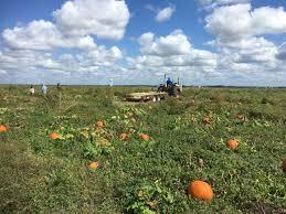 White Oak Pumpkin Patch by Pumpkin Patches Abound In San Antonio And Around