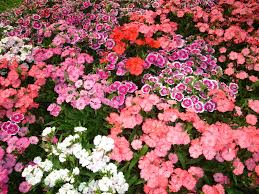 Flowers For Flower Beds by Flower Garden Flowers In The Greatindex Net Idolza