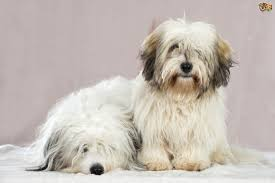 Tiny Non Shedding Dog Breeds by Coton De Tulear Dog Breed Information Buying Advice Photos And
