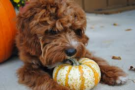 Pumpkin Seed Oil For Hair Loss Dosage by Pumpkin For Dogs Can And Should My Pet Eat Pumpkin