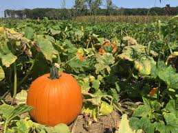 Pumpkin Patch Albany Ny by Stanton U0027s Feura Farm And Markets