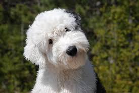 Tiny Non Shedding Dog Breeds by Old English Sheepdog