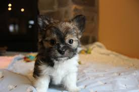 Tiny Non Shedding Dog Breeds by So Fine Mi Kis Contact Seller Of Mi Ki Puppies From Reputable