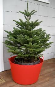 Christmas Tree Species Name by Keeping Living Christmas Trees Alive An Evidence Based Gardener