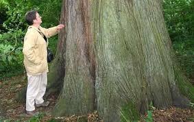 شجرة الكستناء images?q=tbn:ANd9GcS