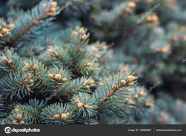 Christmas Tree Species Name by Fir Branches Blue Lush Spruce Branch Textured Background Green